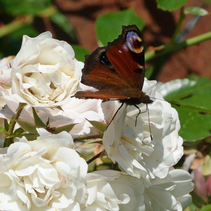 Tagpfauenauge auf Rose