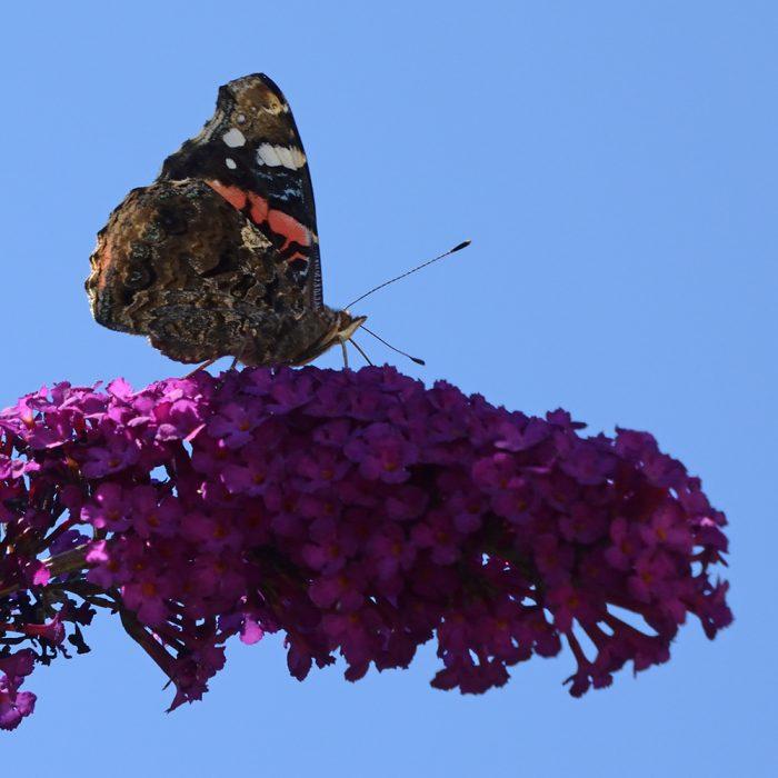 Admiral auf Schmetterlingsflieder