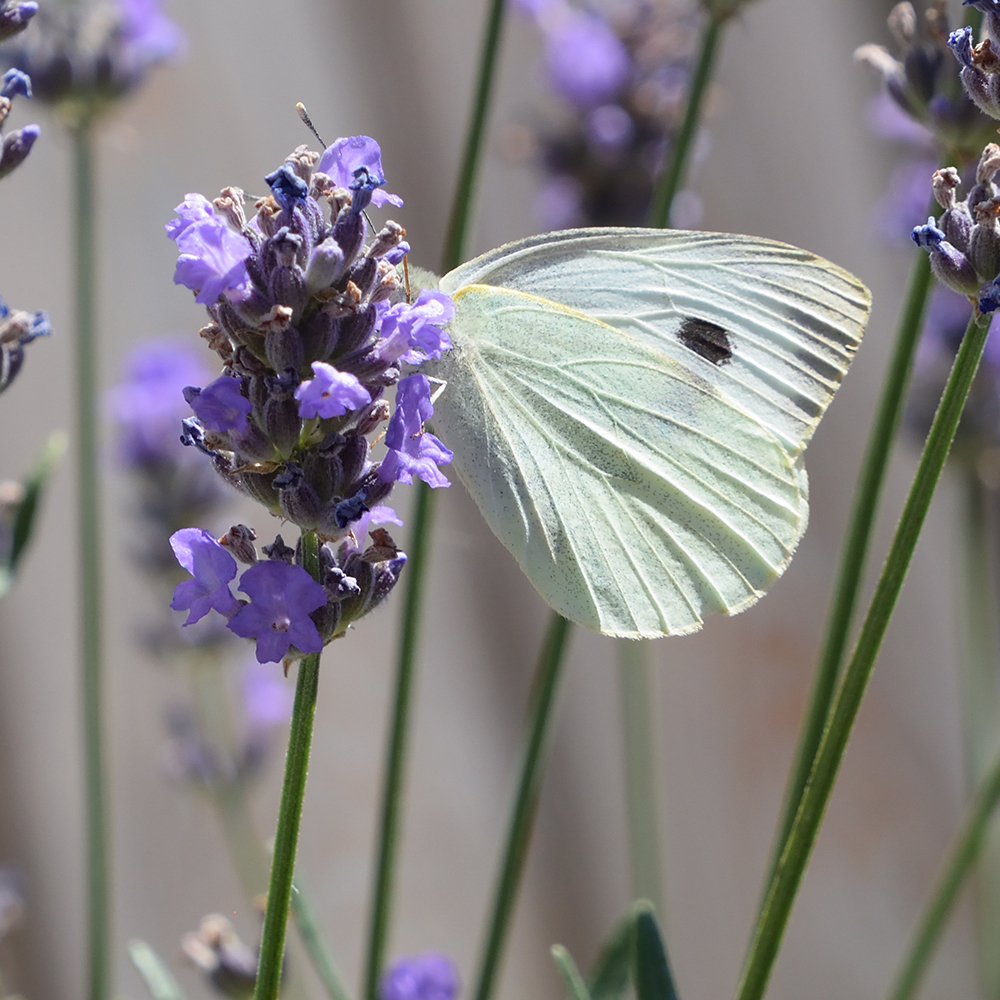 Großer Kohlweißling auf Lavendel
