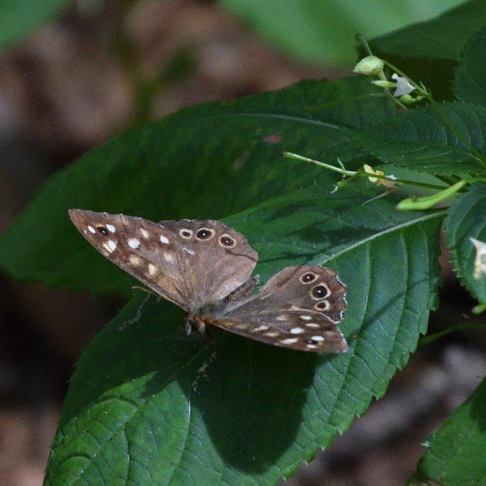 Waldbrettspiel auf Springkraut