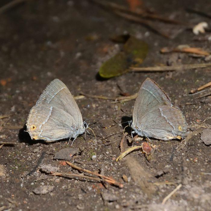 Blauer Eichen-Zipfelfalter am Waldboden