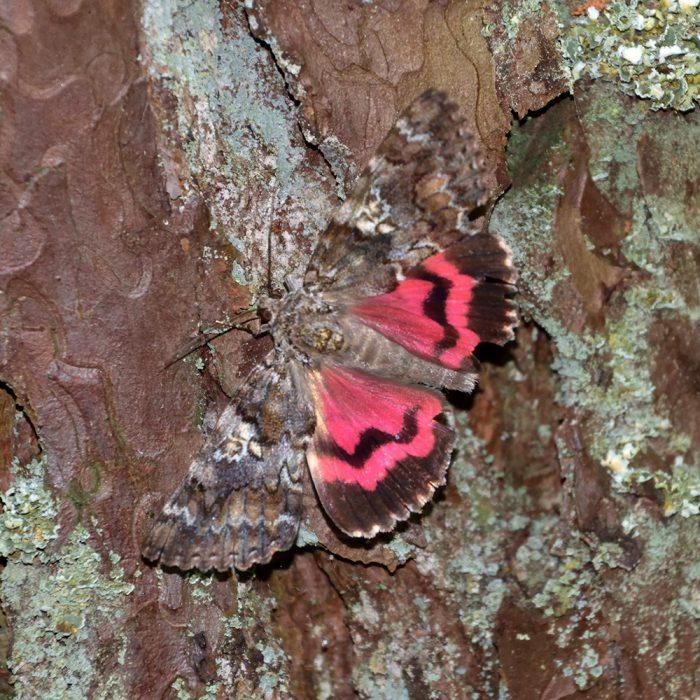 Großes Eichenkarmin im Wald