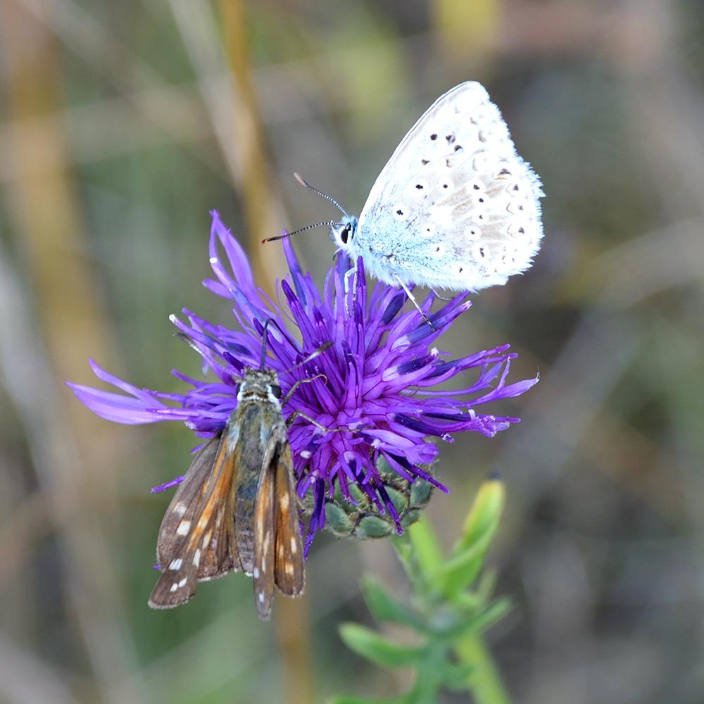 Bläuling und Komma-Dickkopffalter auf Flockenblume
