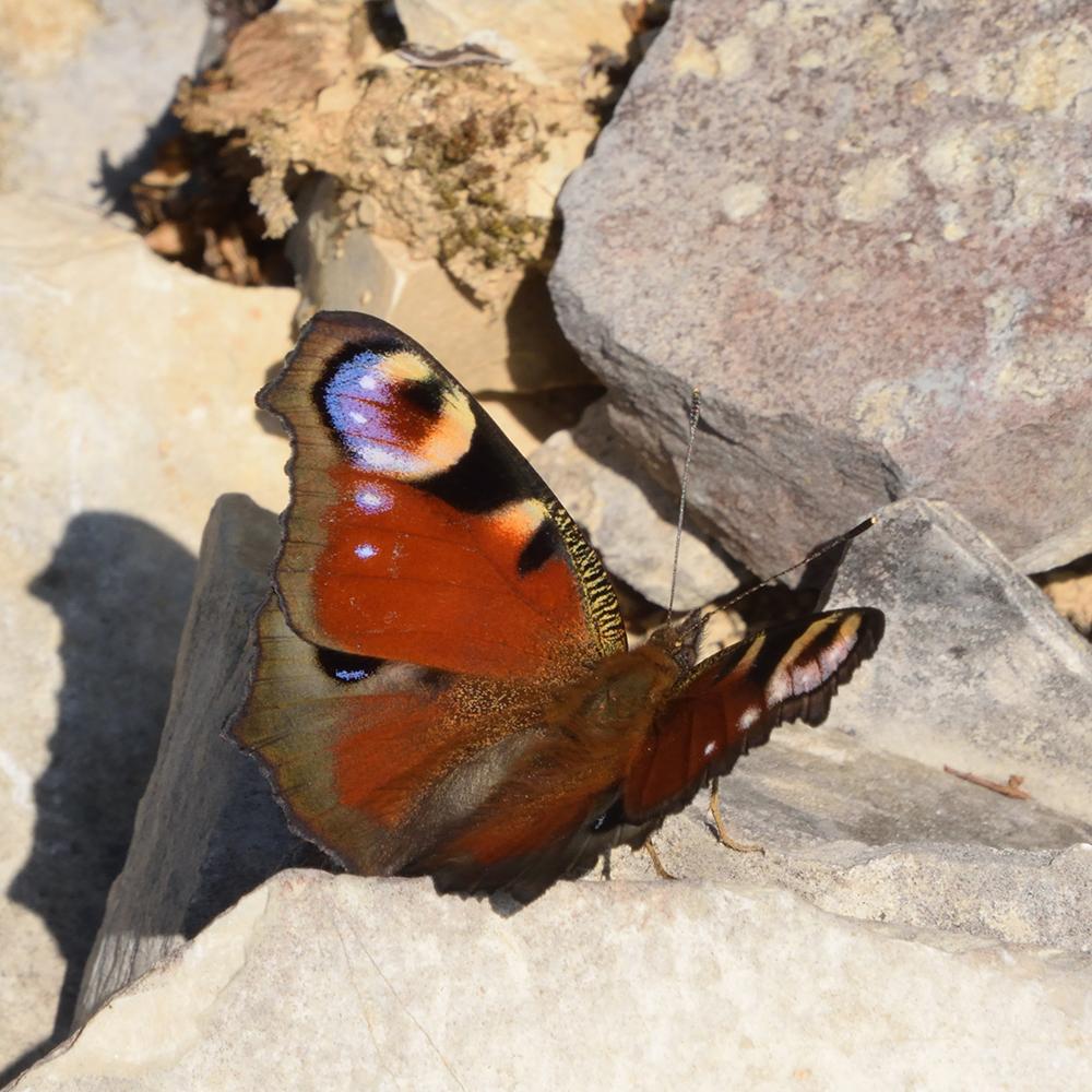 Tagpfauenauge auf Stein