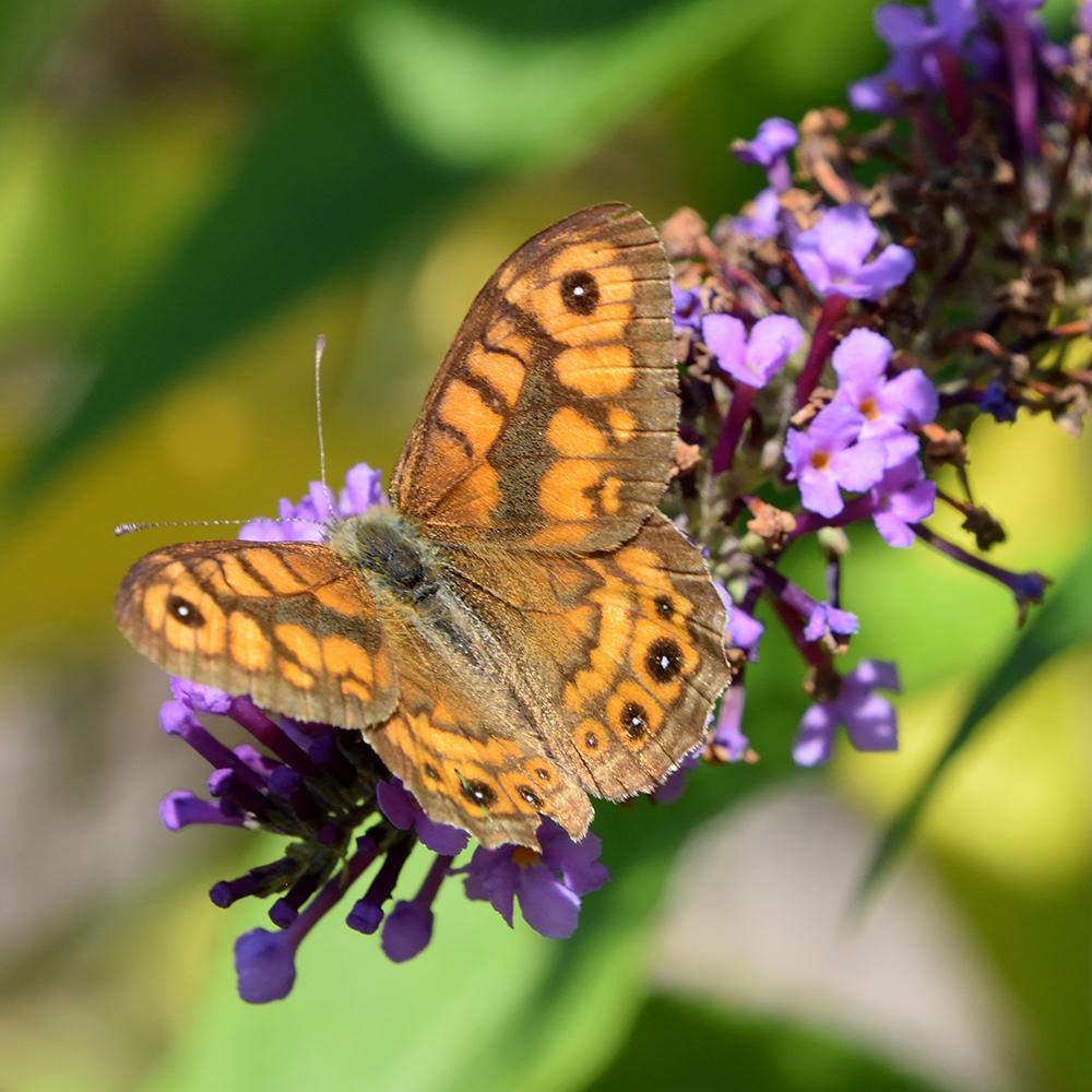 Mauerfuchs auf Schmetterlingsflieder