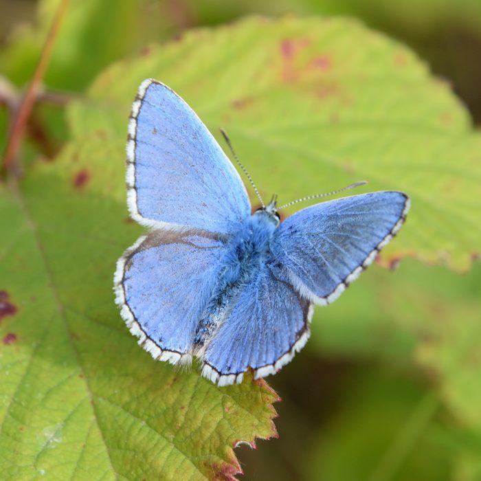 Himmelblauer Bläuling auf Brombeerblatt