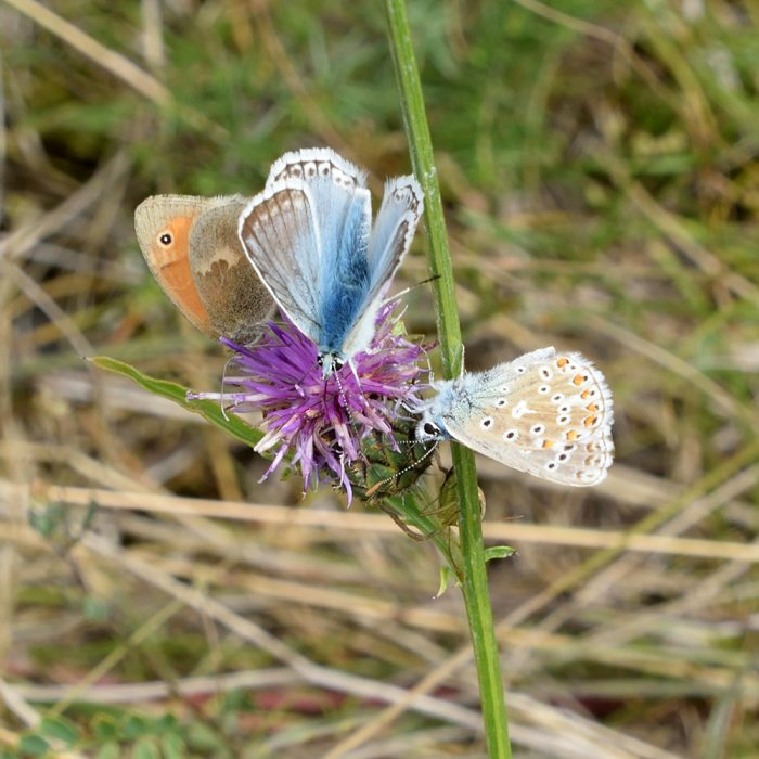 Kleines Wiesenvögelchen und Bläulinge auf Flockenblume