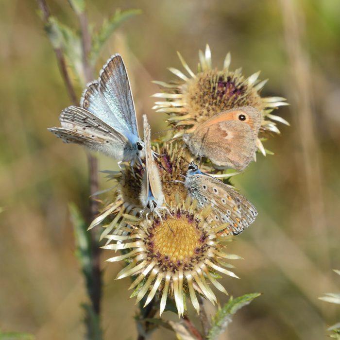 Silbergrüner Bläuling und kleines Wiesenvögelchen auf Distel