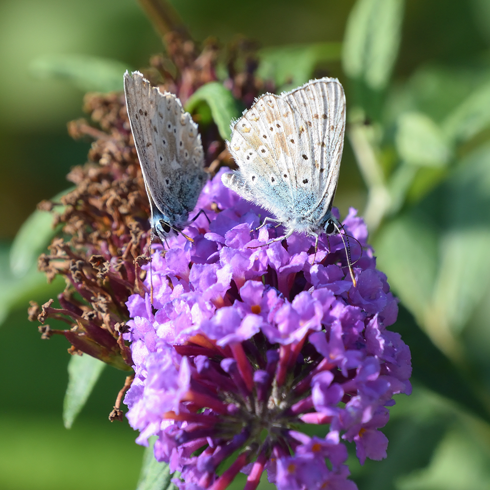 Silbergrüner Bläuling auf Schmetterlingsflieder