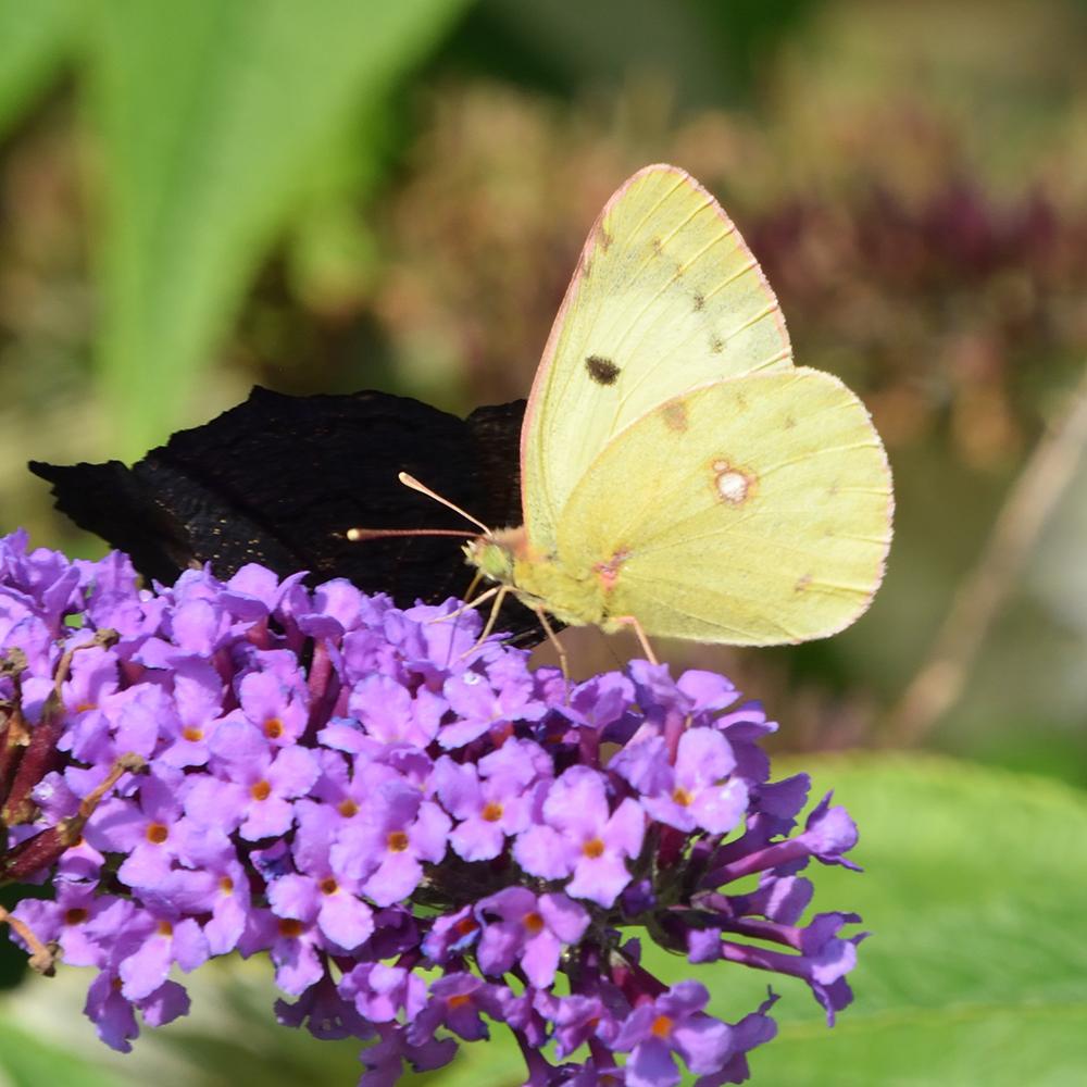 Hufeneisenklee-Gelbling auf Schmetterlingsflieder