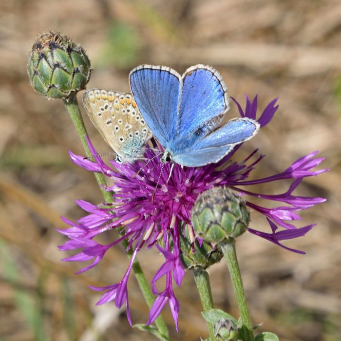 Himmelblauer Bläuling auf Flockenblume