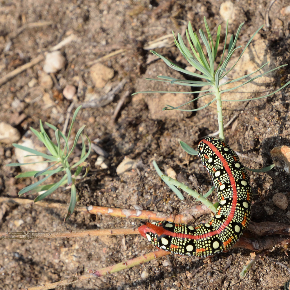 Raupe von Wolfsmilchschwärmer auf Futterpflanze