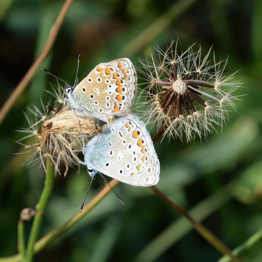 Hauhechel-Bläuling auf Wildblume