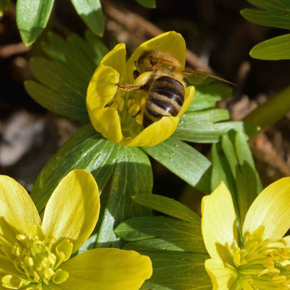 Biene auf Winterling
