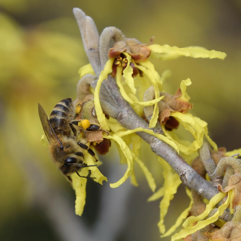 Biene auf Hamamelis