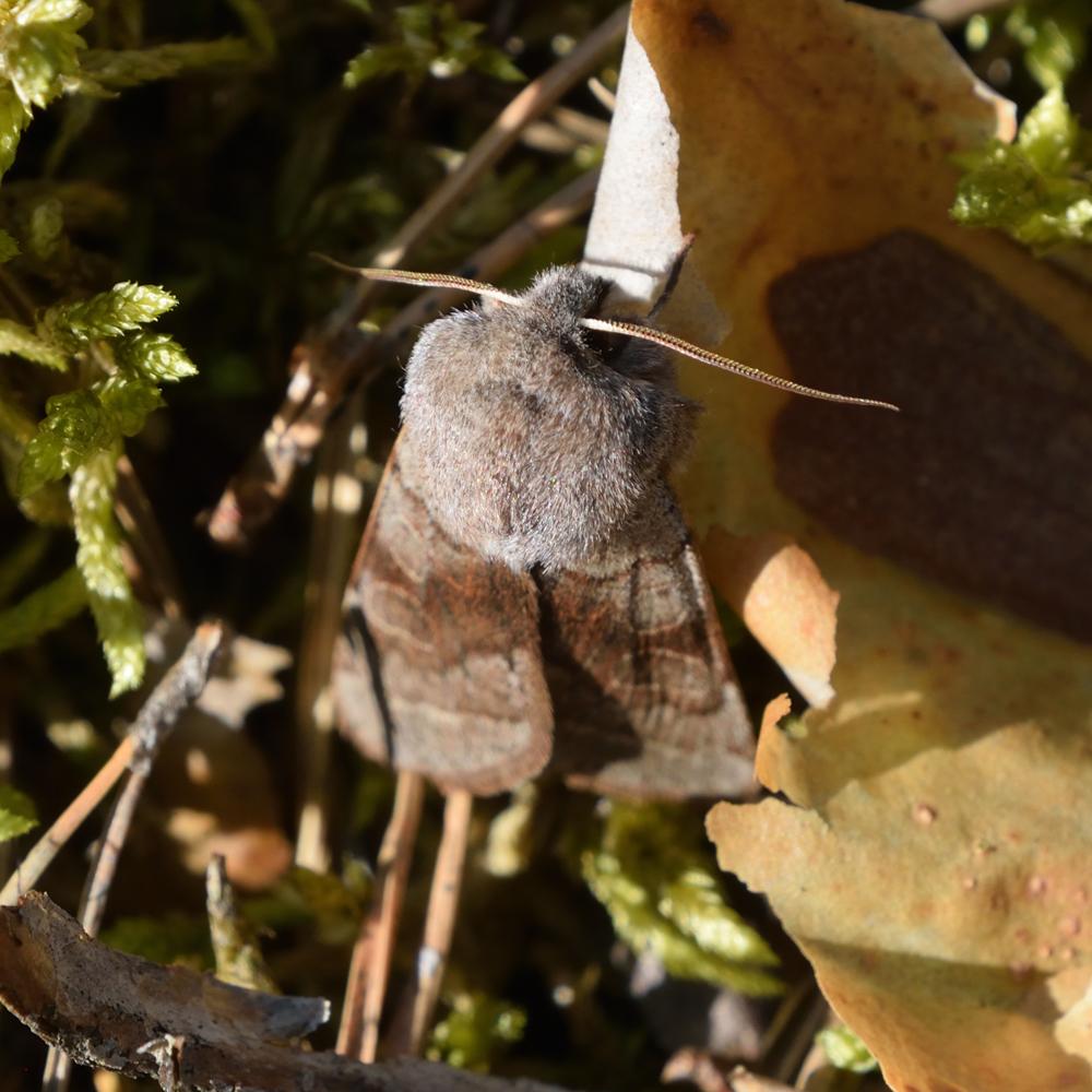 Variable Kätzcheneule auf Waldboden