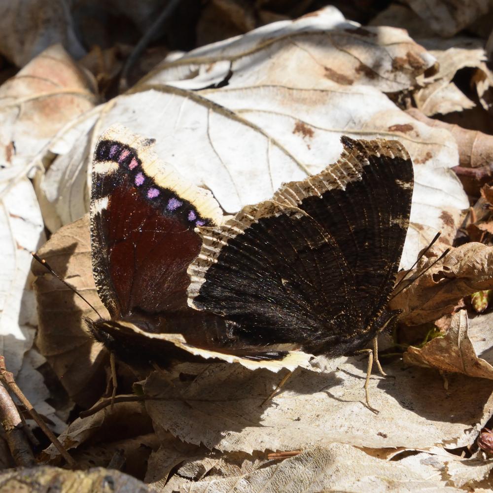 Trauermantel am Waldboden