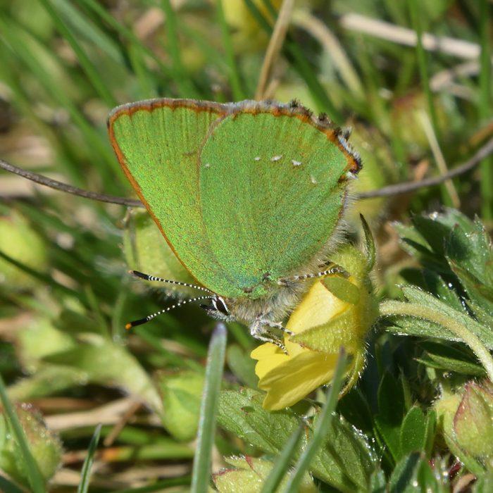 Grüner Zipfelfalter auf Fingerkraut