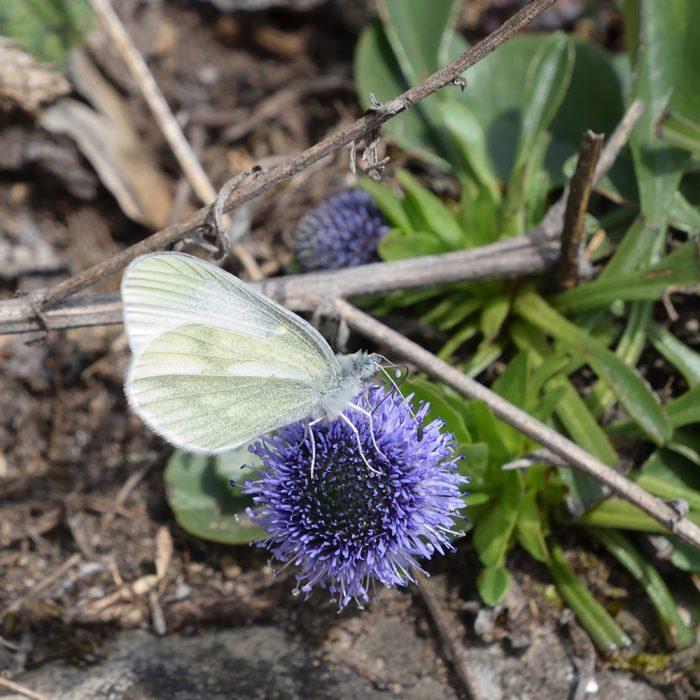 Tintenfleck-Weißling auf Gemeiner Kugelblume