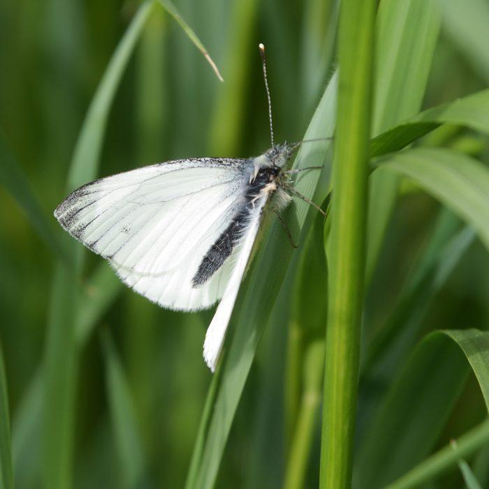 Grünader-Weißling auf Gras