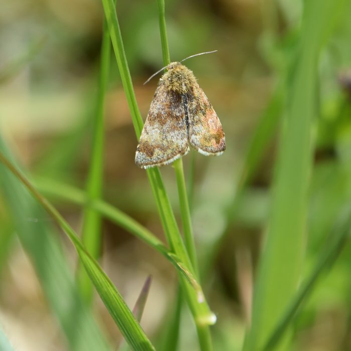 Hornkraut-Tageulchen auf Gras