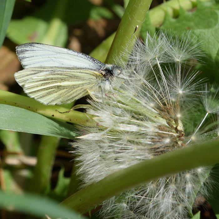 Grünader-Weißling auf Löwenzahn