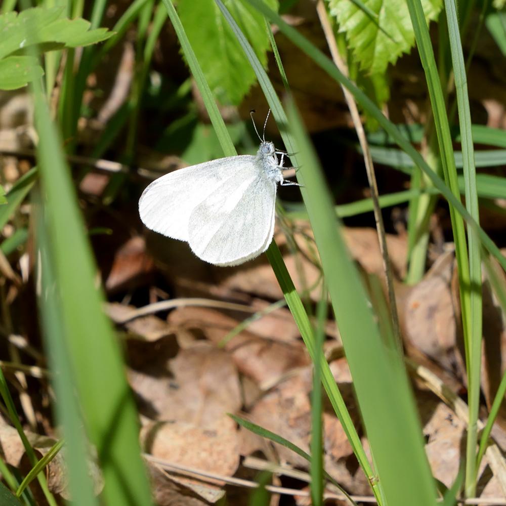 Tintenfleck-Weißling auf Gras