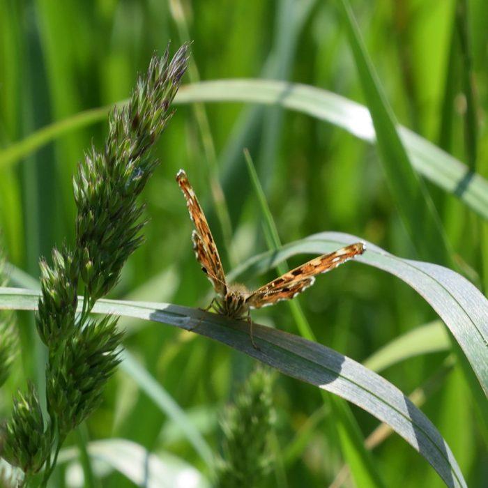 Landkärtchen auf Gras