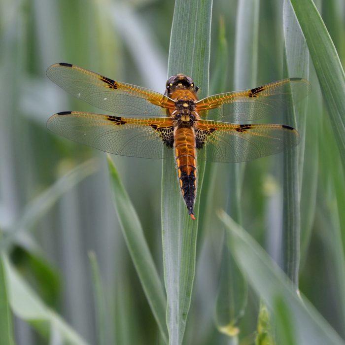Vierfleck-Libelle auf Getreide