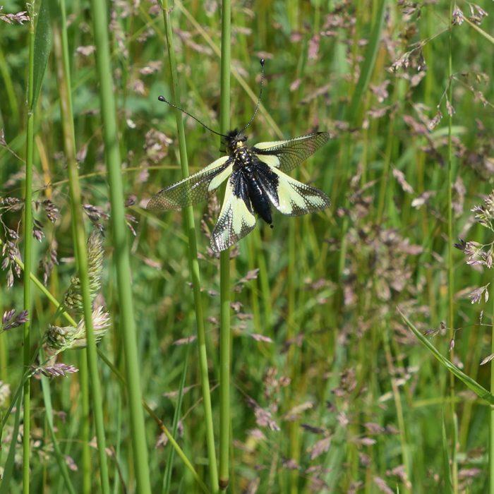 Schmetterlingshafte auf Wiese