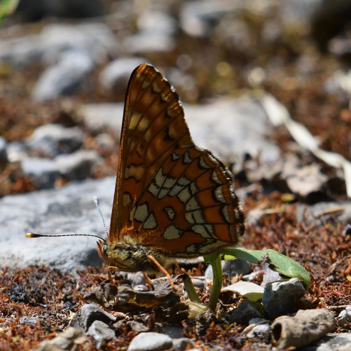 Eschen-Scheckenfalter auf Waldboden