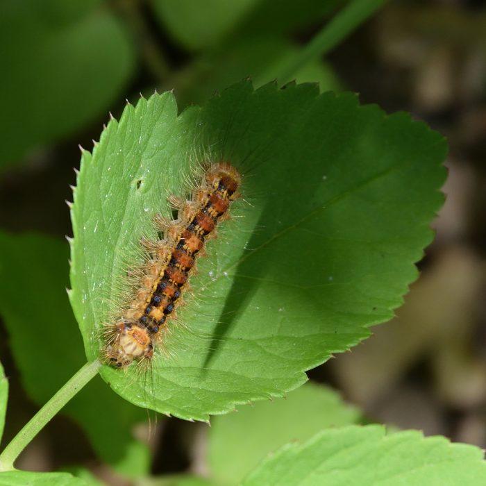 Schwammspinner Raupe auf Blatt
