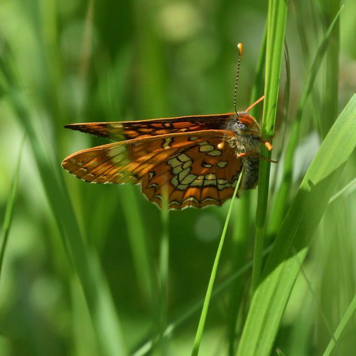 Eschen-Scheckenfalter auf Gras