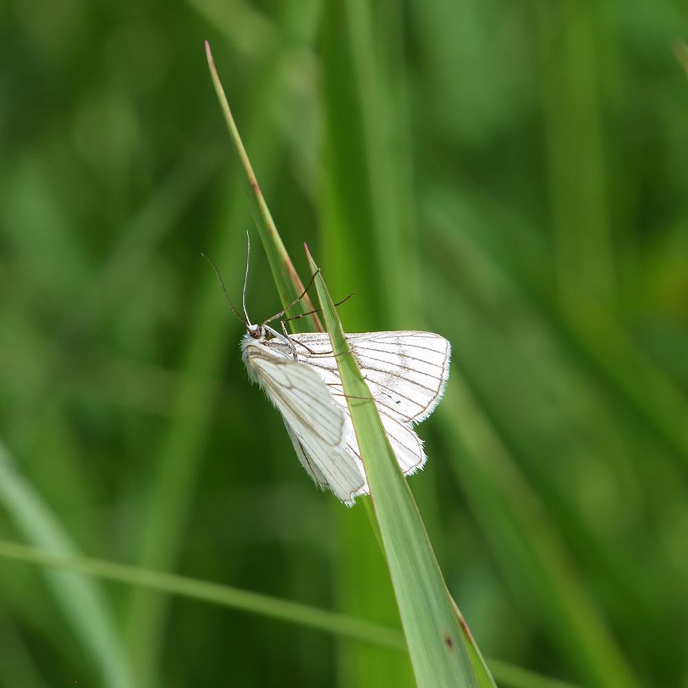 Harheu-Spanner auf Gras