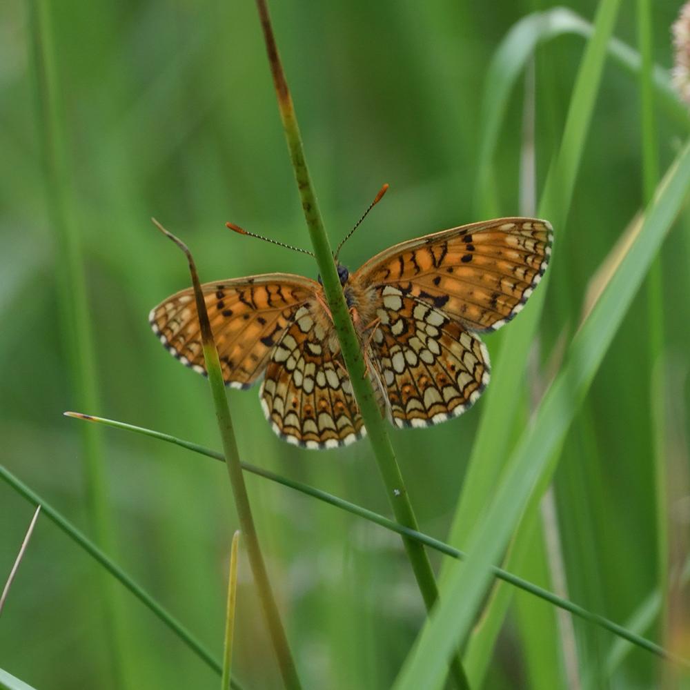 Baldrian-Scheckenfalter auf Gras