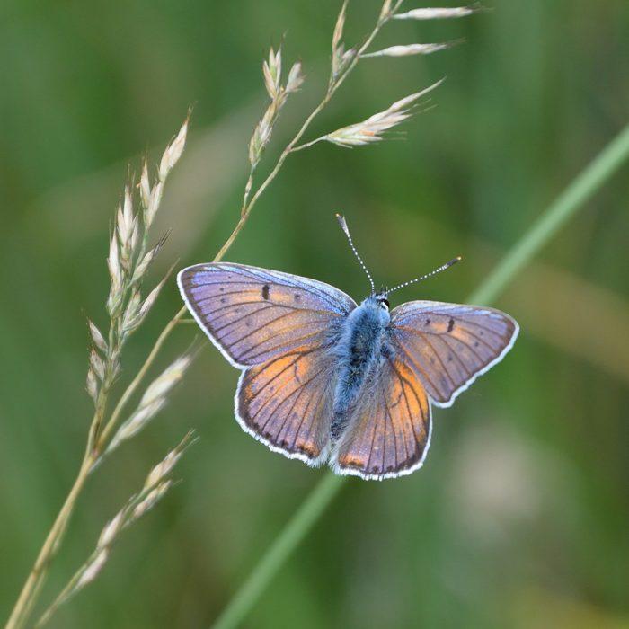 Violetter Feuerfalter auf Gras