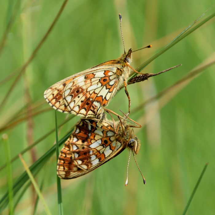 Braunfleckiger Perlmutterfalter auf Gras
