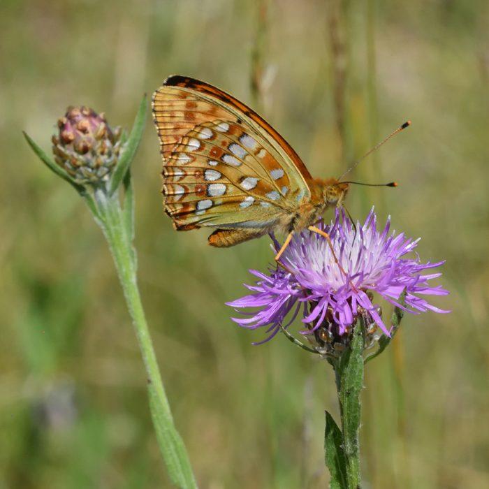 Feuriger Perlmutterfalter auf Flockenblume