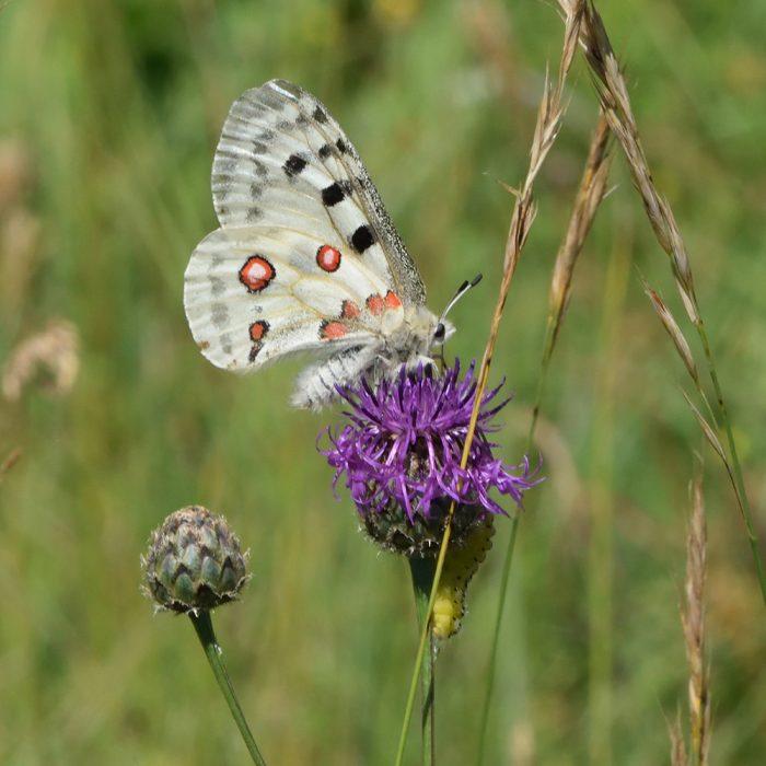 Apollofalter und Sechsfleck-Widderchen Raupe auf Flockenblume