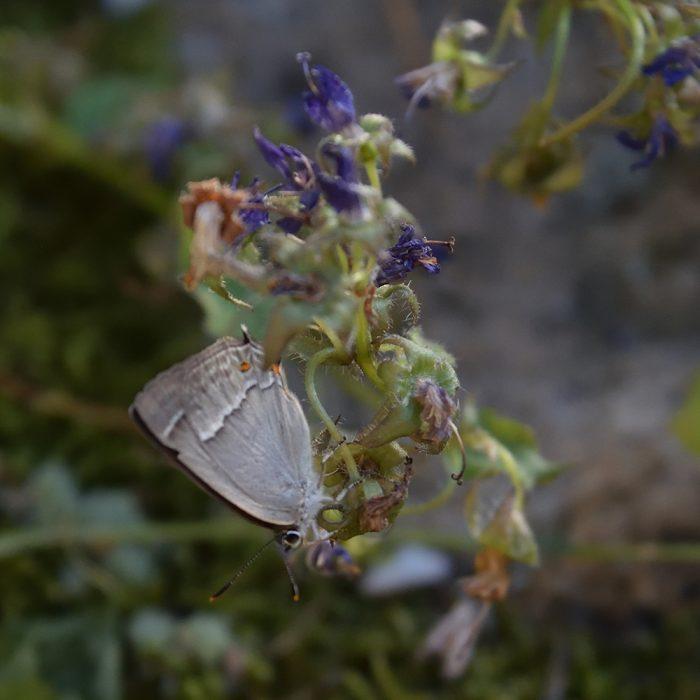 Blauer Eichenzipfelfalter auf Glockenblume