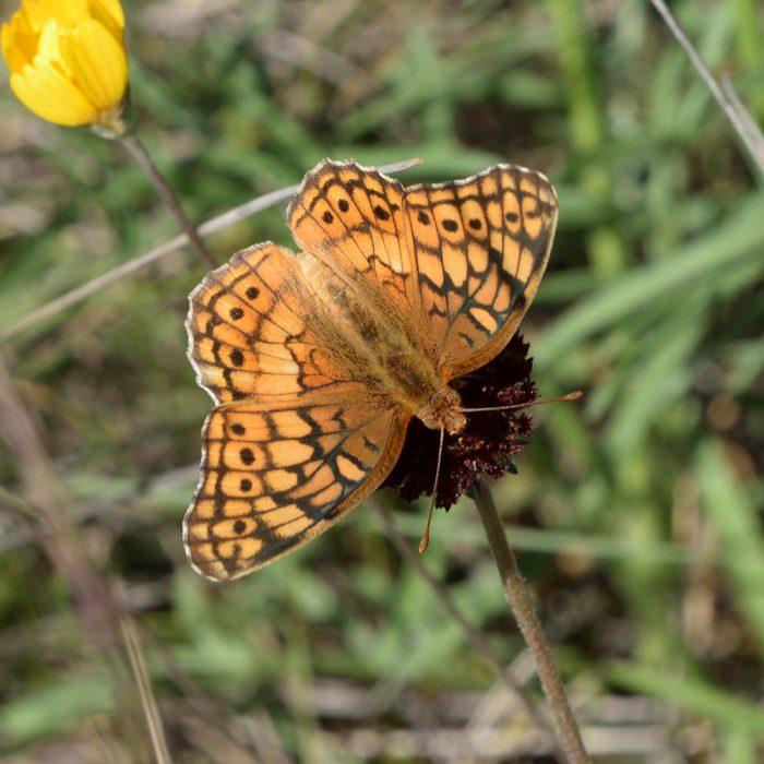 Variegated Fritillary auf Strahlloser Kokardenblume (Bandera Co., Texas)
