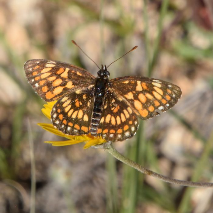 Theona Checkerspot auf Wildblume (Bandera Co., Texas)