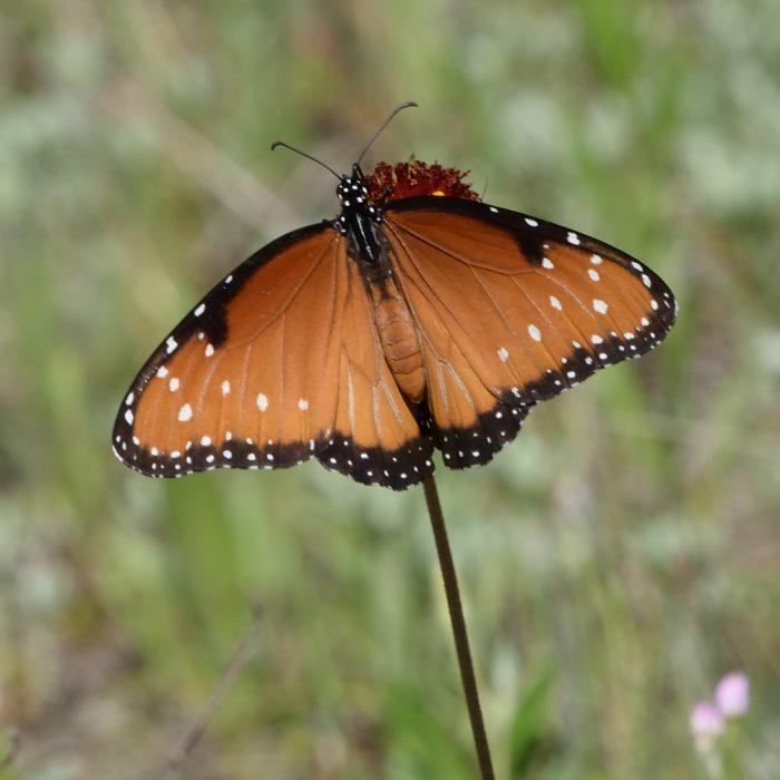 Queen auf Strahlloser Kokardenblume (Bandera Co., Texas)