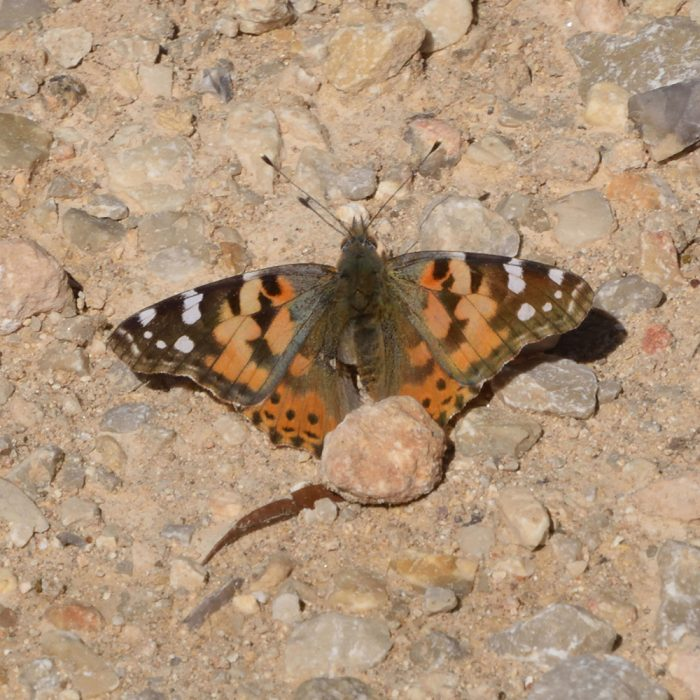 Painted Lady am Boden (Bandera Co., Texas)