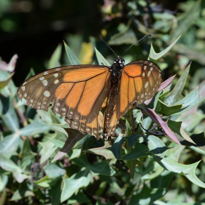 Monarch auf Strauch (Bandera Co., Texas)