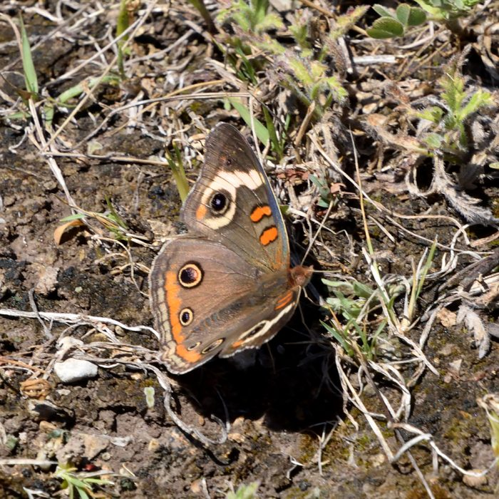 Common Buckeye am Boden (Uvalde Co., Texas)