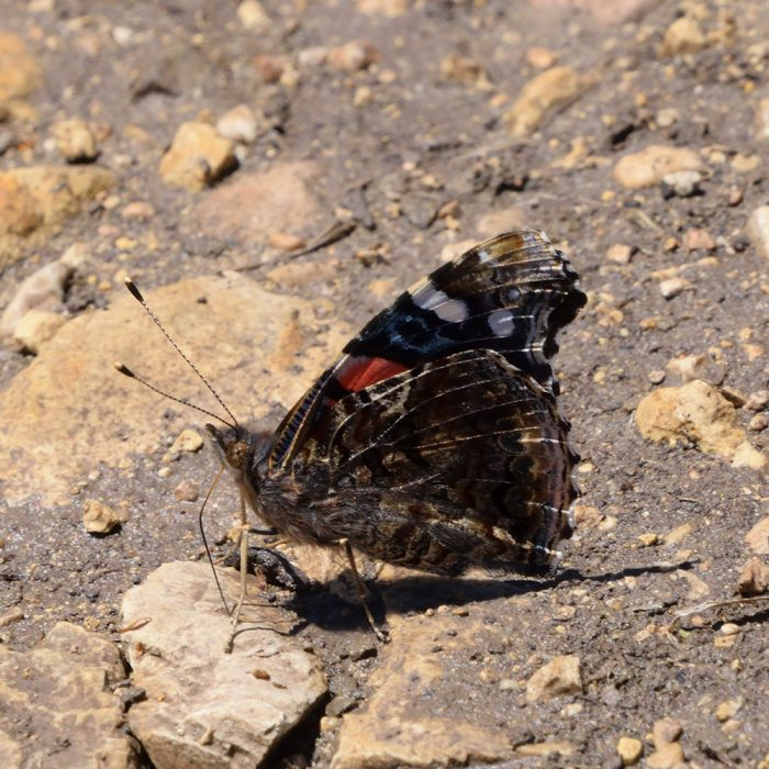 Red Admiral am Boden (Uvalde Co., Texas)
