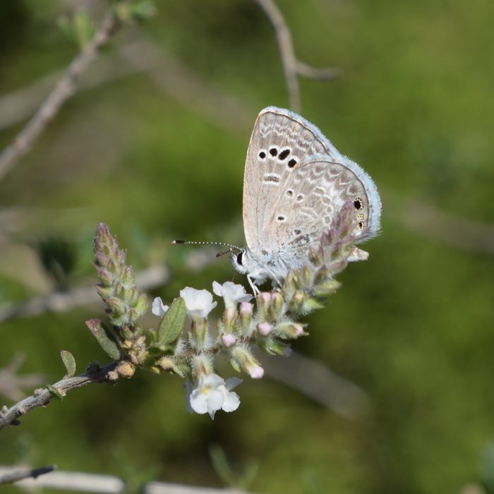 Reakirt's Blue auf Wildblume (Terrell Co., Texas)