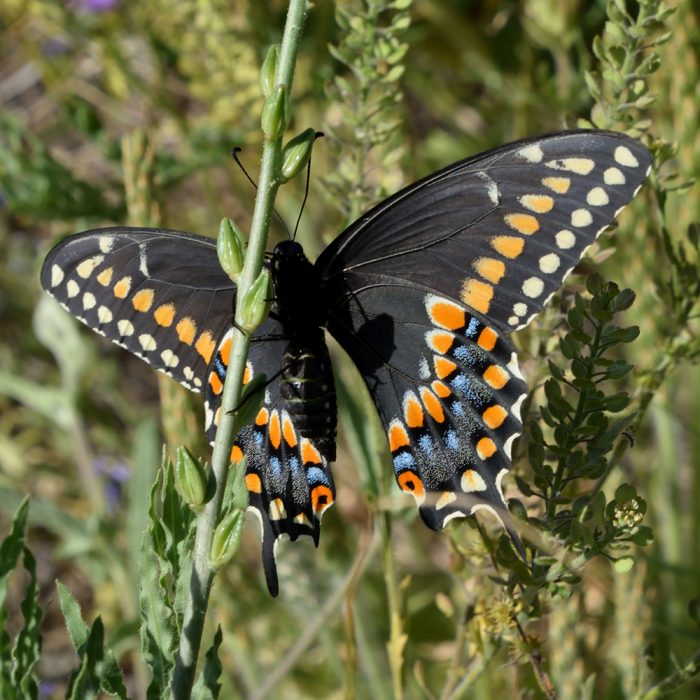 Black Swallowtail auf Wildblume (Terrell Co., Texas)
