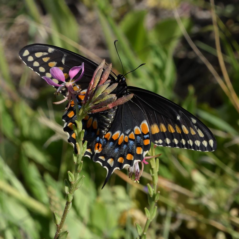 Black Swallowtail auf Wildblume (Terrell Co., Texas)